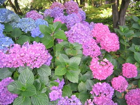Hydrangeas stock photo, Hydrangeas grown in the Christchurch Botanic Gardens, New Zealand by Michael Santero