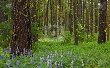 Lupine Carpet stock photo, Lupine carpets the forest floor on a ridge arund the middle fork the Ahtanum by Mike Dawson