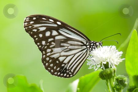Milkweed butterfly feeding on white flower stock photo, Milkweed butterfly (Parantica aglea maghaba, Danaidae) feeding on white flower by Lawren