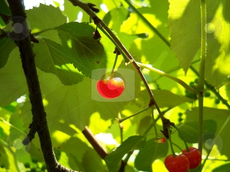 Cherry stock photo, Ripe, bright red cherry in full sunlight hangs from branches with yellow-green sunlit leaves as a background. by Rebecca Ledford