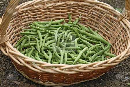 French beans stock photo, String beans in a wicker basket outdoor by ANTONIO SCARPI