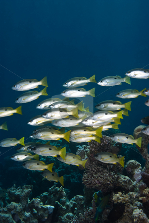 A school of Ehrenberg's snapper (lutjanus ehrenbergi) stock photo, A school of Ehrenberg's snapper (lutjanus ehrenbergi),side view. Red Sea, Egypt. by Mark Doherty