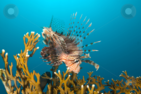 A Common lionfish (Pterois miles)  stock photo, A Common lionfish (Pterois miles) investigating the coral reef, side view. Red Sea, Egypt. by Mark Doherty