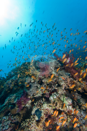 Colorful tropical reef stock photo, Colorful tropical reef, Red Sea, Egypt by Mark Doherty