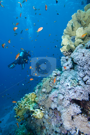 Diver alongside a tropical coral reef stock photo, Diver alongside a tropical coral reef. Red Sea, Egypt. by Mark Doherty