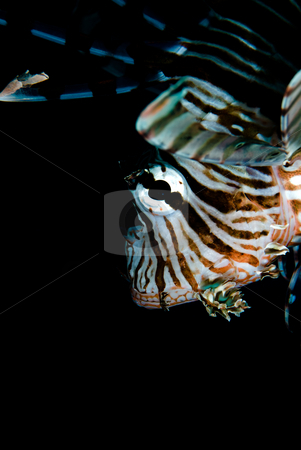A close up side view of an adult Common lionfish (Pterois miles) stock photo, A close up side view of an adult Common lionfish (Pterois miles) with black background. Red Sea, Egypt. by Mark Doherty