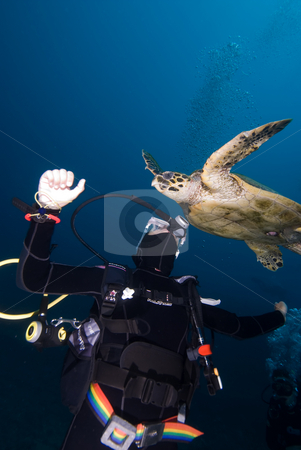 Hawksbill turtle (Eretmochelys imbricata) Critically Endangered  stock photo, Hawksbill turtle (Eretmochelys imbricata) Critically Endangered and Diver interacting. Red Sea, Egypt by Mark Doherty