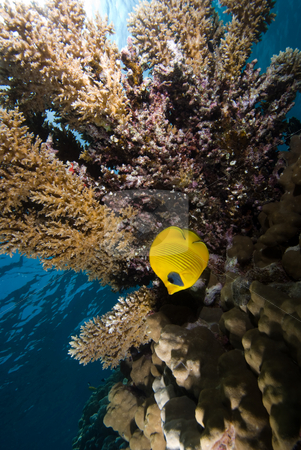 Masked butterflyfish (Chaetodon semilarvatus)  stock photo, Masked butterflyfish (Chaetodon semilarvatus) underneath a table coral (Acropora pharaonis), low angle view. Red Sea, Egypt. by Mark Doherty