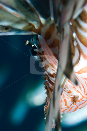 A close up side view of an adult Common lionfish (Pterois miles) stock photo, A close up side view of an adult Common lionfish (Pterois miles). Red Sea, Egypt. by Mark Doherty