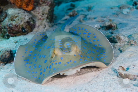 A Bluespotted stingray (Taeniura lymma)  stock photo, A Bluespotted stingray (Taeniura lymma) resting in the sand, close up,front view. Red Sea, Egypt by Mark Doherty