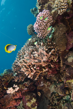 Hard coral reef. Red Sea Egypt. stock photo, Hard coral reef. Red Sea Egypt. by Mark Doherty