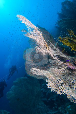 Giant sea fan (Annella mollis) stock photo, Giant sea fan (Annella mollis), underside view with divers in the background. Red Sea, Egpyt by Mark Doherty