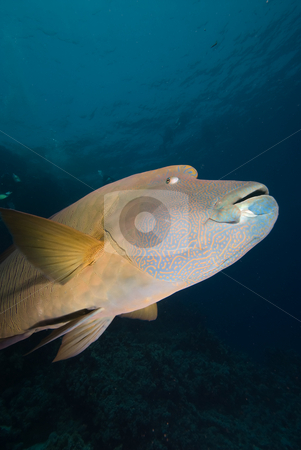 A low angle side view of an adult Napoleon wrasse (Cheilinus und stock photo, A low angle side view of an adult Napoleon wrasse (Cheilinus undulatus). Endangered, Red Sea, Egypt. by Mark Doherty