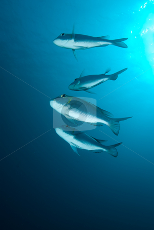 A small school or shoal of Bigeye emperor (Monotaxis grandoculis stock photo, A small school or shoal of Bigeye emperor (Monotaxis grandoculis), Red Sea, Egypt by Mark Doherty