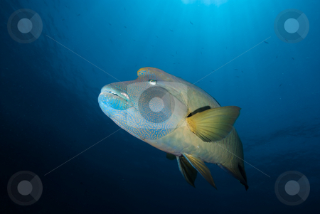 Low angle Side view of an adult Napoleon wrasse (Cheilinus undul stock photo, Low angle Side view of an adult Napoleon wrasse (Cheilinus undulatus). Endangered, Red Sea, Egypt. by Mark Doherty