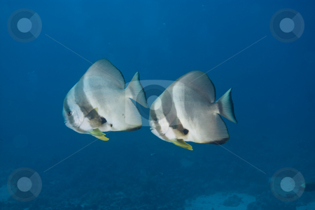 Two adult Circular batfish (Platax orbicularis) stock photo, Two adult Circular batfish (Platax orbicularis) side view,full length. Red Sea, Egypt by Mark Doherty