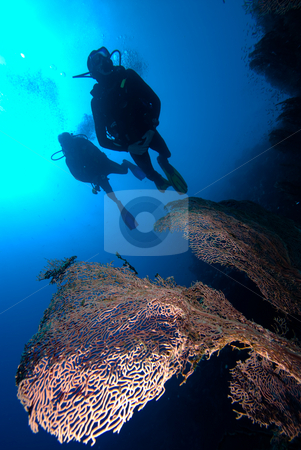 Divers over a coral reef stock photo, Giant sea fan (Annella mollis) with two divers silhouetted in the background, low angle view. Red Sea, Egypt. by Mark Doherty