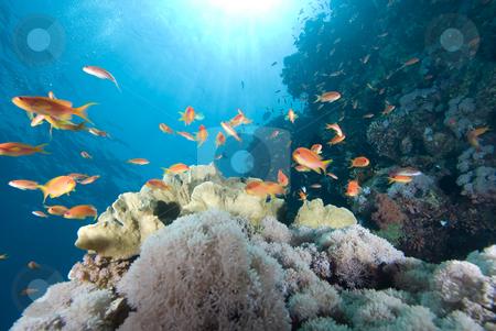 A school of Lyretail anthias (Pseudanthias squamipinnis) over a  stock photo, A school of Lyretail anthias (Pseudanthias squamipinnis) over a coral reef. Red Sea, Egypt. by Mark Doherty