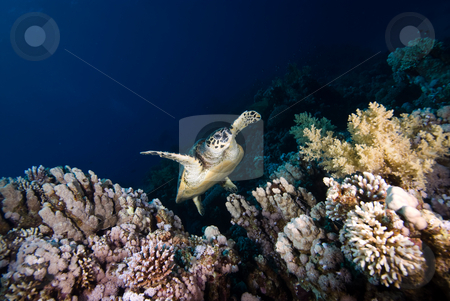 A juvenile Hawksbill turtle (Eretmochelys imbricata) stock photo, A juvenile Hawksbill turtle (Eretmochelys imbricata) swimming up the coral reef, Endangered, High angle view. Red Sea, Egypt. by Mark Doherty