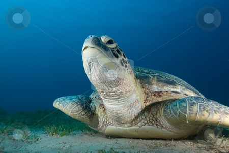 Green turtle (Chelonia mydas) resting on a seagrass bed stock photo, Green turtle (Chelonia mydas) resting on a seagrass bed. Endangered,Red Sea, Egypt. by Mark Doherty
