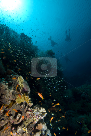 Divers over a coral reef stock photo, Divers over a coral reef, low angle view. Red Sea, Egypt. by Mark Doherty
