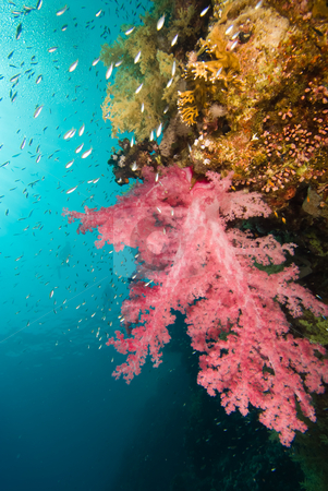 Vibrant Broccoli coral (Dendronephthya klunzingeri) stock photo, Vibrant Broccoli coral (Dendronephthya klunzingeri). Red Sea, Egypt. by Mark Doherty