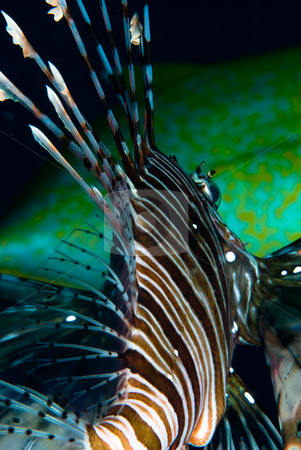 An adult Common lionfish (Pterois miles), Rear view stock photo, An adult Common lionfish (Pterois miles), Rear view. Red Sea. Egypt. by Mark Doherty