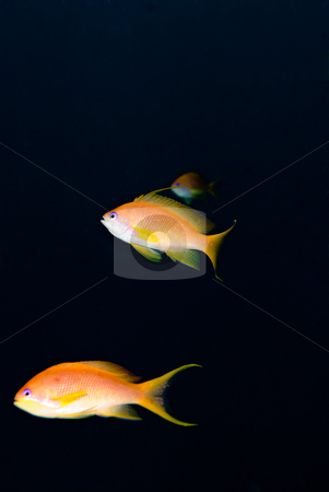 Lyretail anthias (Pseudanthias squamipinnis) stock photo, Lyretail anthias (Pseudanthias squamipinnis),close up. Red Sea, Egypt. by Mark Doherty
