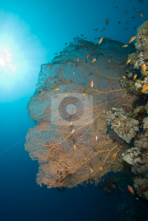 Heathly Giant Sea Fan (Annella mollis) stock photo, Heathly Giant Sea Fan (Annella mollis) with blue background. Red Sea, Egypt. by Mark Doherty