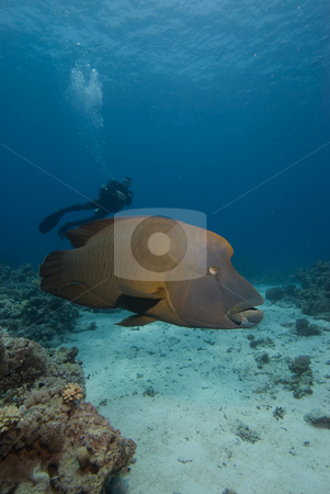 An adult Napoleon wrasse (Cheilinus undulatus) stock photo, An adult Napoleon wrasse (Cheilinus undulatus) with diver in the background. Endangered, Red Sea, Egypt. by Mark Doherty