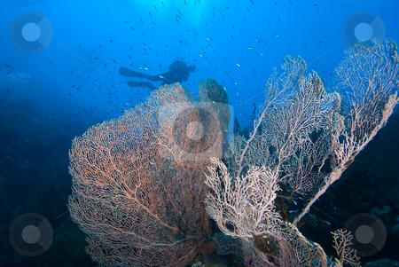 Giant sea fan (Annella mollis), underside view with divers in th stock photo, Giant sea fan (Annella mollis), underside view with divers in the background. Red Sea, Egpyt by Mark Doherty