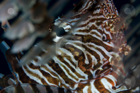 An adult Common lionfish (Pterois miles) side view stock photo, An adult Common lionfish (Pterois miles) side view. Red Sea. Egypt. by Mark Doherty