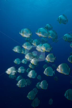 A School of Circular batfish (Platax orbicularis) stock photo, A School of Circular batfish (Platax orbicularis). Red Sea, Egypt. by Mark Doherty