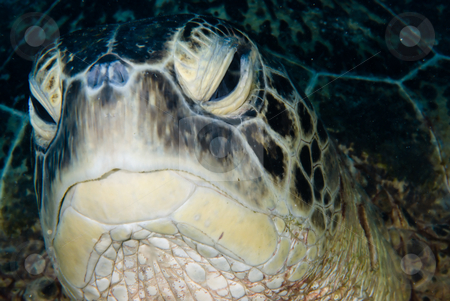 A Male Green turtle (Chelonia mydas)  stock photo, An Male Green turtle (Chelonia mydas) looking like it is falling asleep. Endangered, Red Sea Egypt. by Mark Doherty