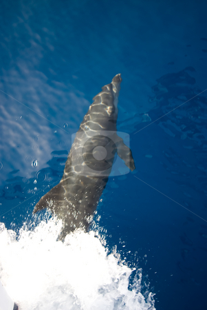 Bottlenose dolphin (Tursiops truncatus)  stock photo, Bottlenose dolphin (Tursiops truncatus) at the surface on the bow wave of a boat. Red Sea, Egypt. by Mark Doherty
