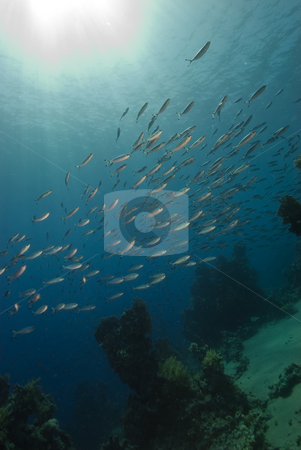 A school Red Sea fusilier  stock photo, A school Red Sea fusilier (Caesio suevica) with sunrays in the background. Red Sea, Egypt. by Mark Doherty