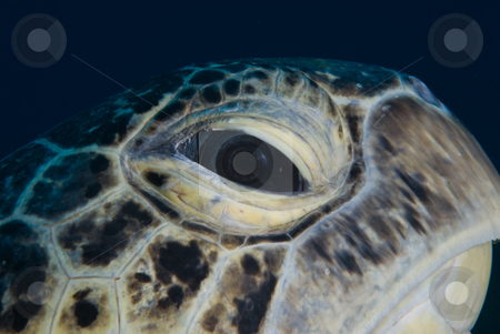 A close up side view of an male adult green turtle (Chelonia myd stock photo, A close up side view of an male adult green turtle (Chelonia mydas). Endangered, Red Sea Egypt. by Mark Doherty