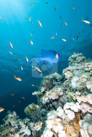 Blue triggerfish (Pseudobalistes fuscus) stock photo, Blue triggerfish (Pseudobalistes fuscus) over a hard coral  pinnacle by Mark Doherty