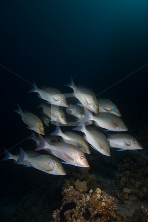 A small school of Bluescale emperor (Lethrinus nebulosus) stock photo, A small school of Bluescale emperor (Lethrinus nebulosus) swimming up the reef. Red Sea, Egypt. by Mark Doherty