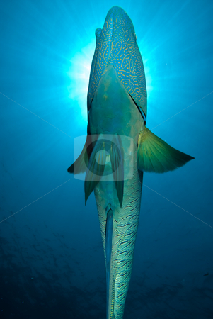 Underneath view of an adult Napoleon wrasse (Cheilinus undulatus stock photo, Underneath view of an adult Napoleon wrasse (Cheilinus undulatus). Endangered, Red Sea, Egypt. by Mark Doherty
