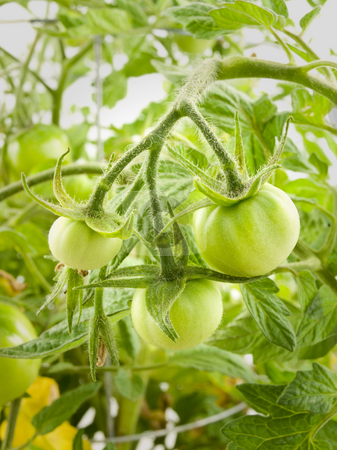 Green Tomatoes stock photo, Little Green Tomatoes hanging from tomato plant by John Teeter