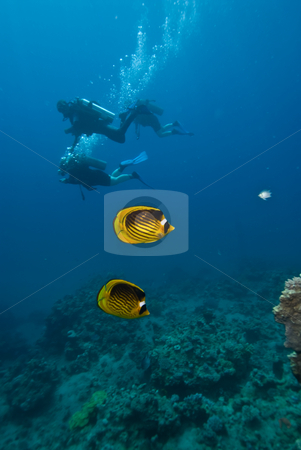 A pair of Striped butterflyfish (chaetodon fasciatus) stock photo, A pair of Striped butterflyfish (chaetodon fasciatus) with divers in the background. Red Sea, Egypt. by Mark Doherty