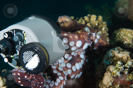 The curious nature of a Reef octopus (Octopus cyaneus) stock photo, The curious nature of a Reef octopus (Octopus cyaneus) investigating an underwater strobe. Red Sea, Egypt. by Mark Doherty