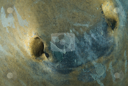 High angle  view of Feathertail stingray (Pastinachus sephen) stock photo, High angle  view of Feathertail stingray (Pastinachus sephen)