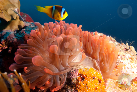 Red Sea anemonefish (Amphiprion bicinctus)  stock photo, Red Sea anemonefish (Amphiprion bicinctus) over its vibrant red anemone. Red sea, Egypt. by Mark Doherty