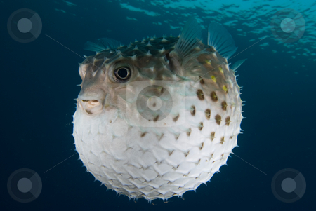 A puffed up Porcupinefish (Diodon hystrix) stock photo, A puffed up Porcupinefish (Diodon hystrix), underside view,defensive reaction to a predatory fish getting to close. Red Sea, Egypt by Mark Doherty