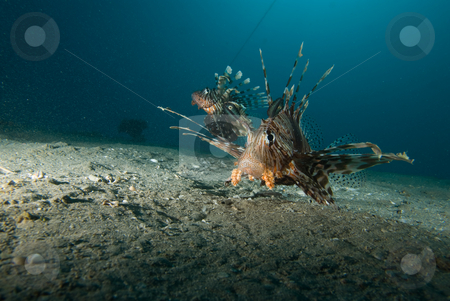 Front view of a Common lionfish (Pterois miles) stock photo, Front view of a Common lionfish (Pterois miles) over sandy seabed. Red Sea, Egypt. by Mark Doherty