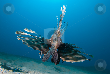 Rear view of a Common lionfish (Pterois miles)  stock photo, Rear view of a Common lionfish (Pterois miles) over sandy seabed. Red Sea, Egypt. by Mark Doherty