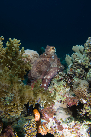 Reef octopus (Octopus cyaneus)  stock photo, Reef octopus (Octopus cyaneus) by Mark Doherty