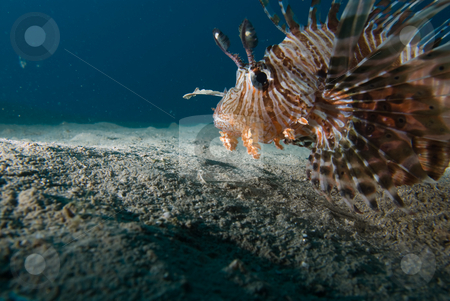 Side view of a Common lionfish (Pterois miles) stock photo, Side view of a Common lionfish (Pterois miles) over sandy seabed. Red Sea, Egypt. by Mark Doherty